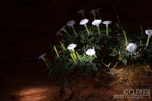 Caryn Esplin - Light Painted Lilies at Lake Powell