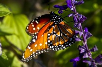 San Antonio – Monarch Butterfly