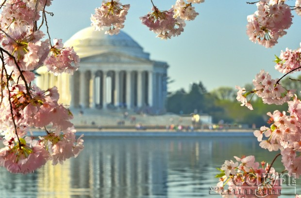 CherryCherry Blossoms - Jefferson Memorial - Washington D.C. - Tidal Basin - Caryn Esplin