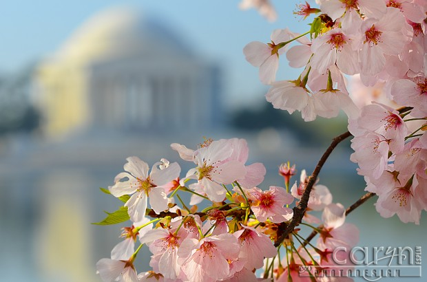 Tidal Basin - Jefferson Memorial - Cherry Blossoms - Washington D.C. - Caryn Esplin