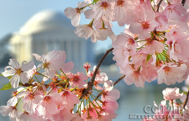 Jefferson Memorial - Cherry Blossoms - Washington D.C. - Tidal Basin - Caryn Esplin