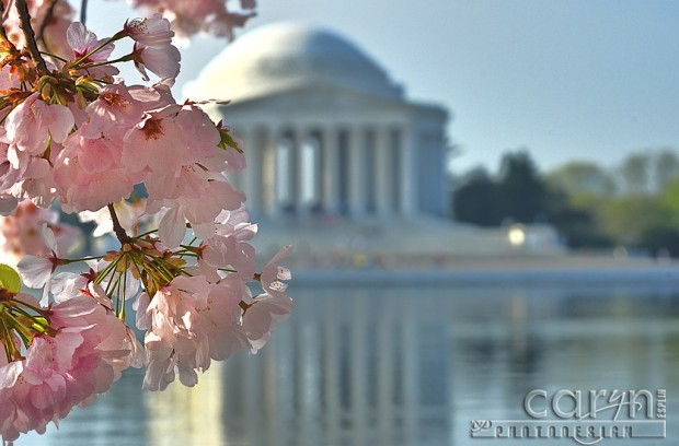 Cherry Blossoms Left - Washington D.C. - Tidal Basin - Caryn Esplin