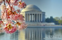 100th Anniversary – Cherry Blossom Festival in D.C.