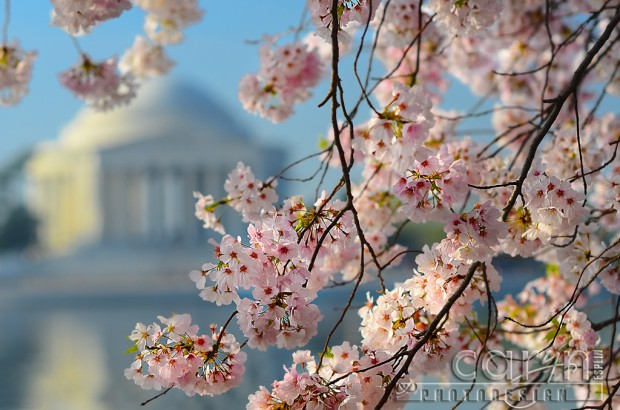 Peak Cherry Blossom Time - Jefferson Monument - Washington D.C.