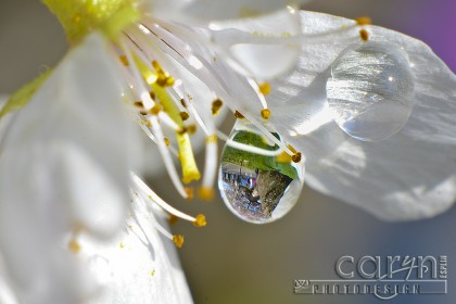 Cherry Blossom Festival Reflection - Washington D.C. - Water Drop - Caryn Esplin