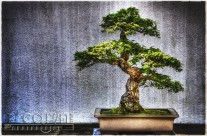 Timeless Bonsai Trees at the National Arboretum