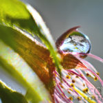 Cherry Blossom Star Abstract - Water Drop - Washington D.C. - Caryn Esplin