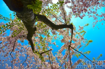 Cherry Blossom Tree - From underneath - Washington D.C. - Caryn Esplin