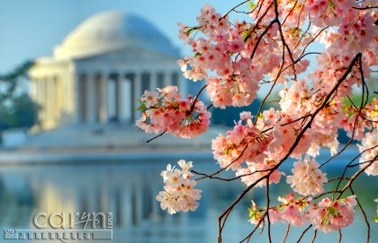 Cherry Blossom Branches - Jefferson Memorial - Washington D.C. - Tidal Basin - Caryn Esplin
