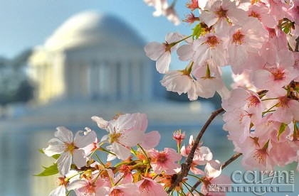 Cherry Blossoms - Tidal Basin - Sunrise Pink - Washington D.C. - Festival - Caryn Esplin