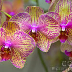 Pink Orchid - National Arboretum - Washington D.C. - Caryn Esplin
