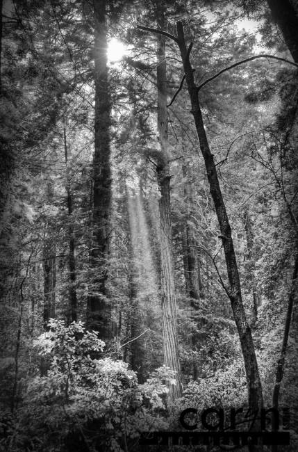 Caryn Esplin - Muir Woods National Monument - BW Light rays - San Francisco