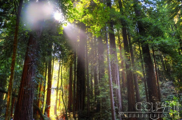 Caryn Esplin - Muir Woods National Monument - California Redwoods - Diffused Light - San Francisco