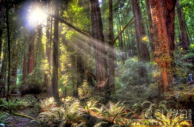 Caryn Esplin - Muir Woods National Monument - Stream of Light - Mossy Tree - San Francisco