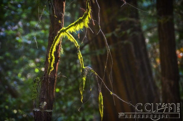 Caryn Esplin - Muir Woods National Monument - Mossy Branch - Mossy Tree - San Francisco