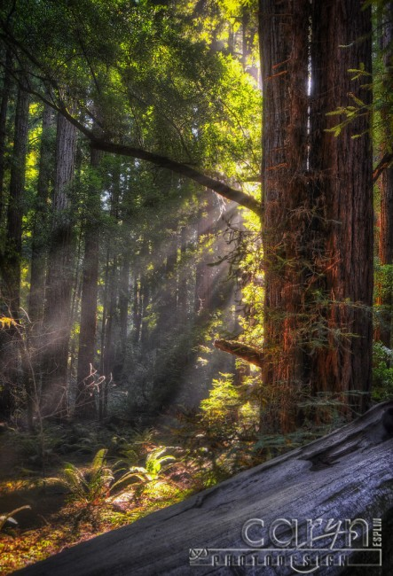Caryn Esplin - Muir Woods National Monument - California Redwoods - San Francisco