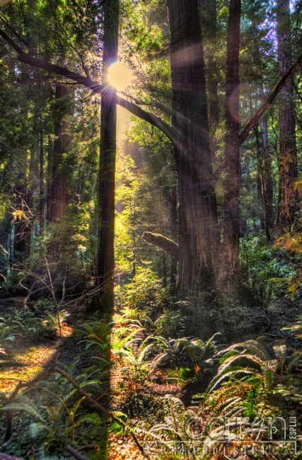 Caryn Esplin - Muir Woods National Monument - California Redwoods - Sunburst - San Francisco