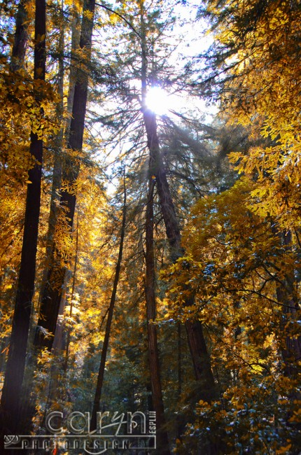 Caryn Esplin - Muir Woods National Monument - California Redwoods - Golden Light - San Francisco