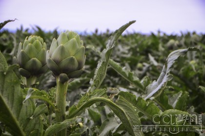Castroville, California Artichoke Capital of the world - Harvest - San Francisco Bay Area