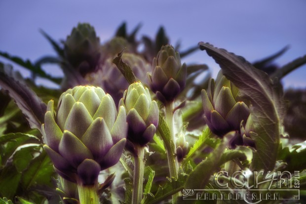Castroville, California Artichoke Capital of the world - Harvest - San Francisco Bay Area -Artsy Artichoke