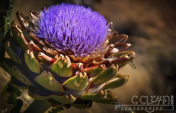 Castroville, California Artichoke Capital of the world - Harvest - San Francisco Bay Area - Flowering Artichoke