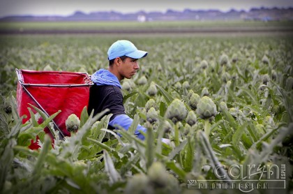 Castroville, California Artichoke Capital of the world - Harvest - San Francisco Bay Area - Working the fields