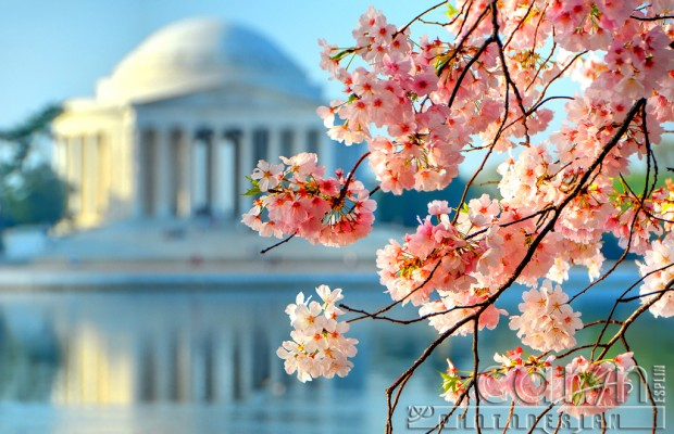 Jefferson Memorial - Cherry Blossoms - Caryn Esplin - Washington DC