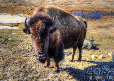 Yellowstone National Park – Spring Wildlife