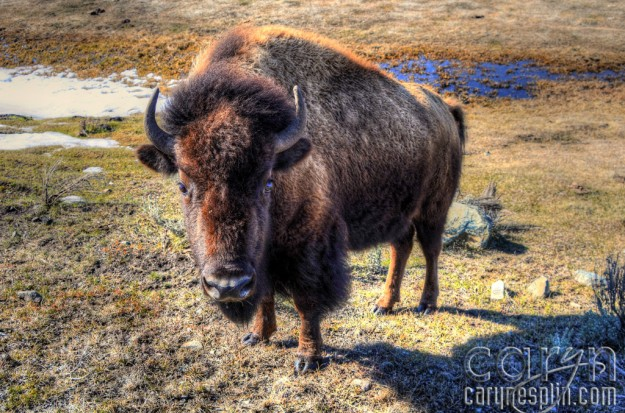 CarynEsplin-Bison-Buffalo-YellowstoneNationalPark
