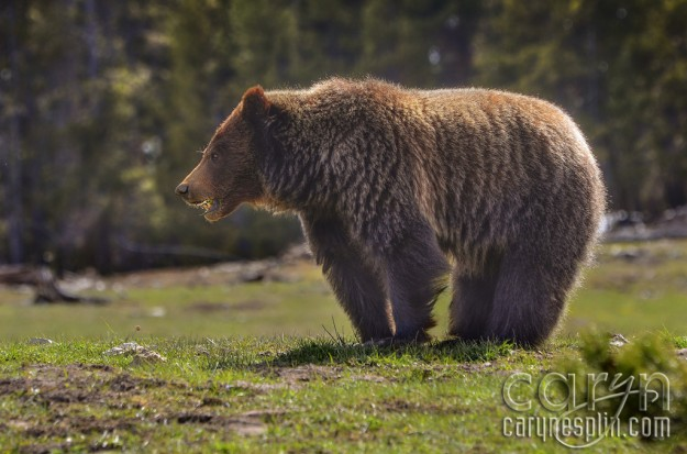 CarynEsplin-She-Grizzly-Bear2-YellowstoneNationalPark