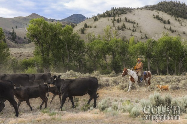 Cowboy Up - Idaho Cattle Drive - Herd - Dogs - Cows