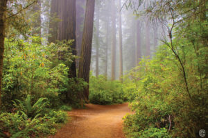 CarynEsplin - Copyright - Redwoods, CA -Composite Option 15