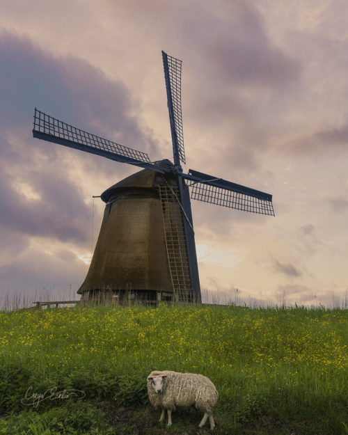 Dutch Windmills - Holland - Netherlands - Caryn Esplin - Sheep